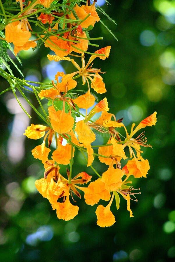 Fleur de paon image libre de droits