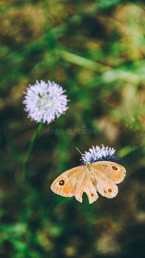 Fleur de papillon de Brown photos libres de droits