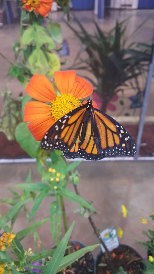 Fleur de papillon de monarque images stock