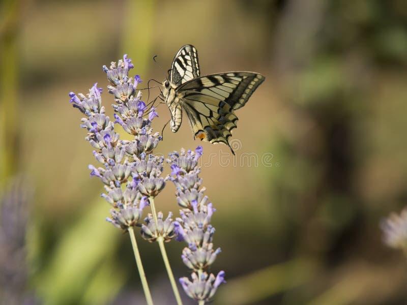 Fleur de papillon et de lavande photos stock