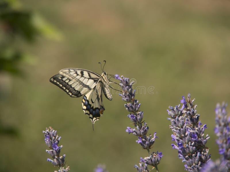 Fleur de papillon et de lavande photo libre de droits