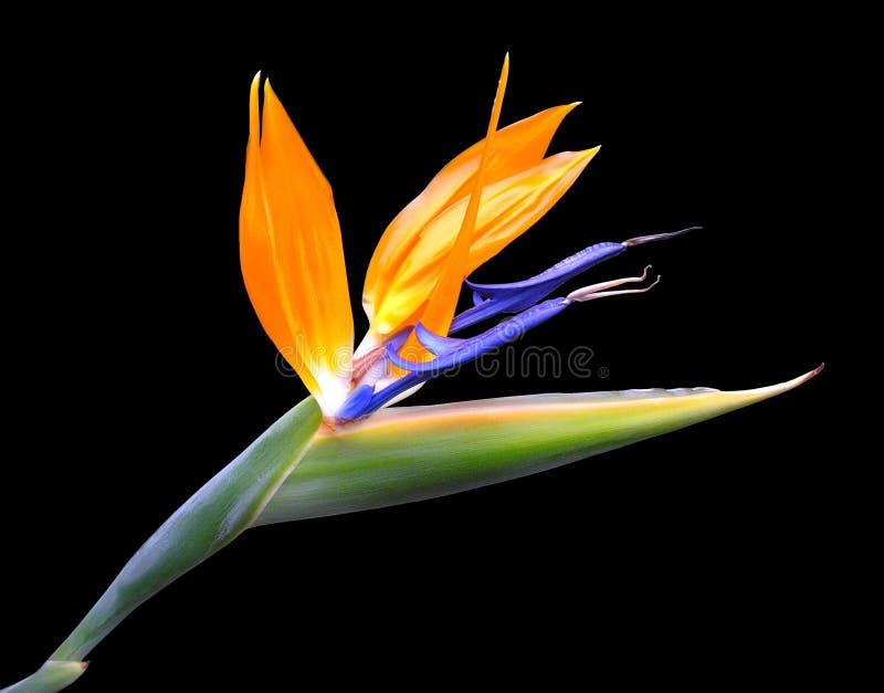 Fleur de paradis photos libres de droits