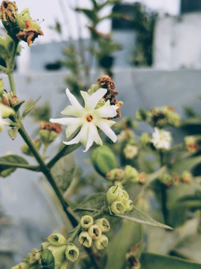 Fleur de Parijat photos stock
