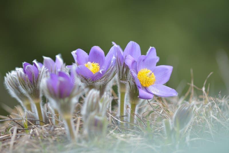 Fleur de Pasque de montagne photos stock