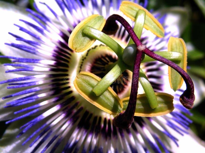 Fleur de passiflore comestible de passiflore photos libres de droits