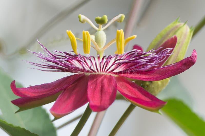 Fleur de passion image libre de droits
