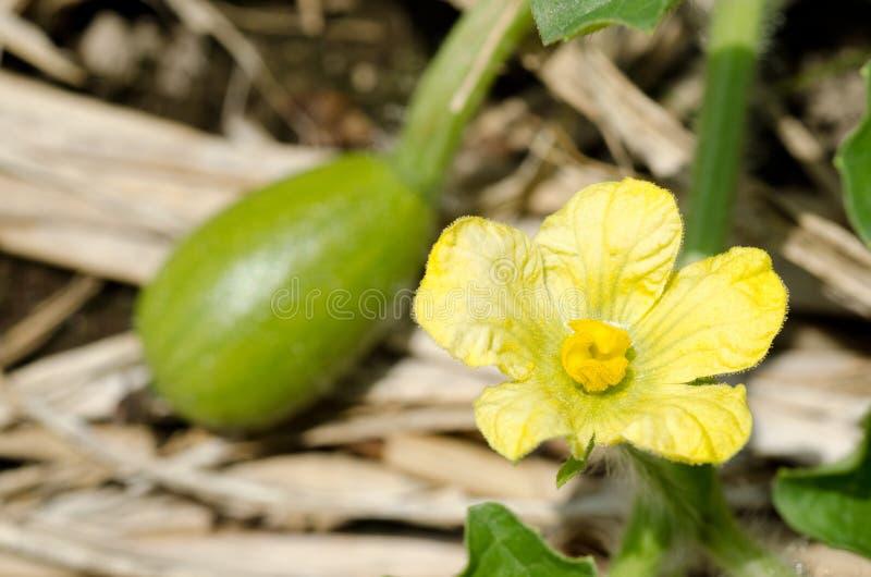 Fleur de pastèque images libres de droits