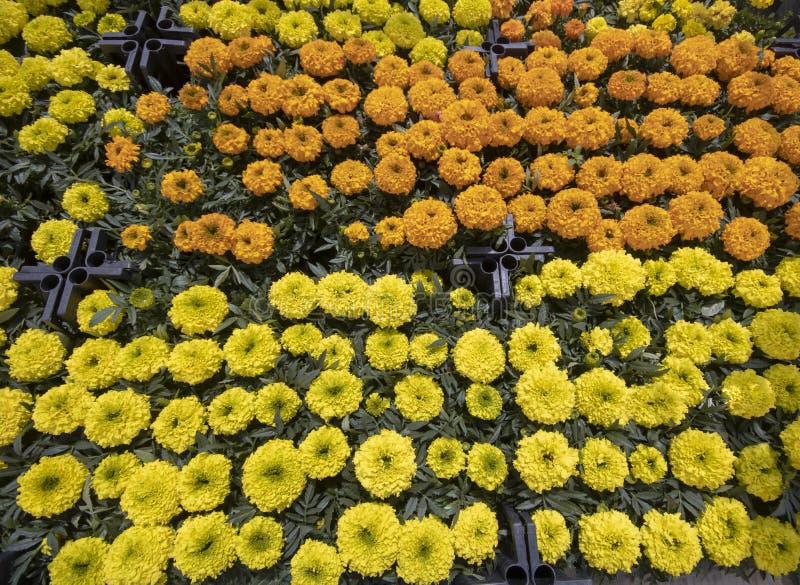 Fleur de patula de Tagetes Dans les caisses image stock