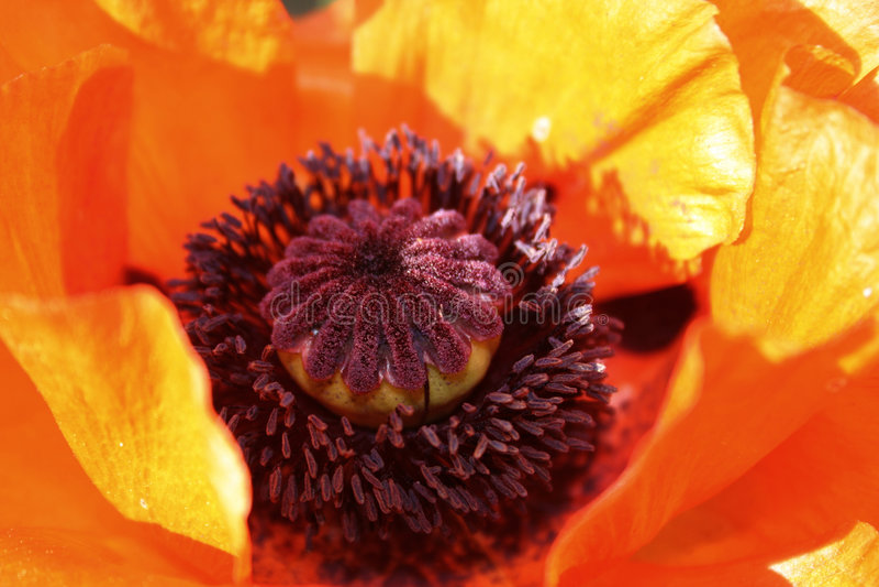 Fleur de pavot photographie stock libre de droits