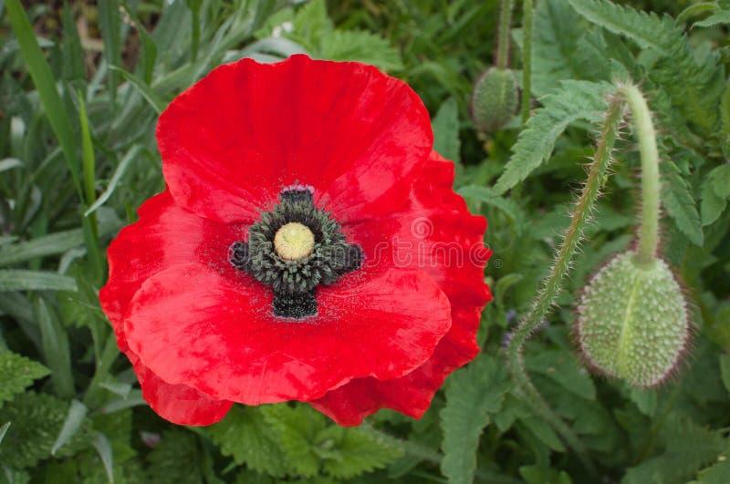 Fleur de pavot photo stock