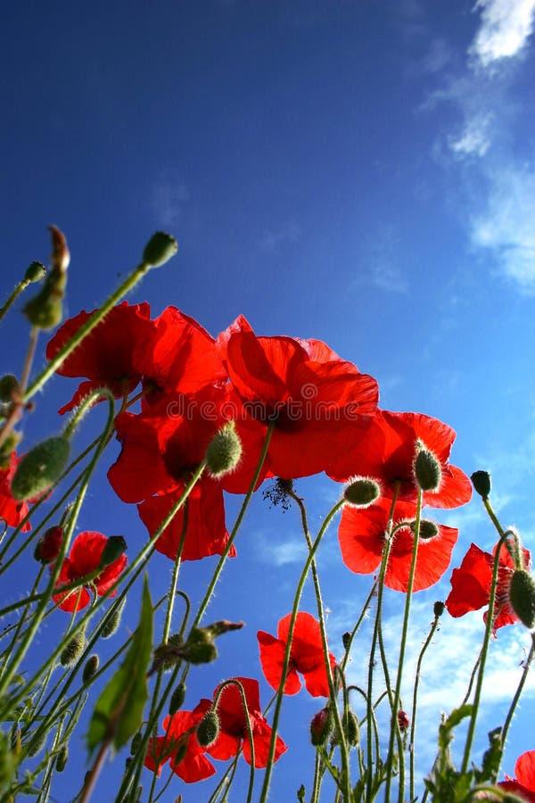 Fleur de pavot photos libres de droits