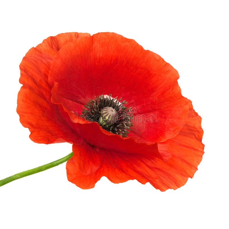 Fleur de pavot photo libre de droits