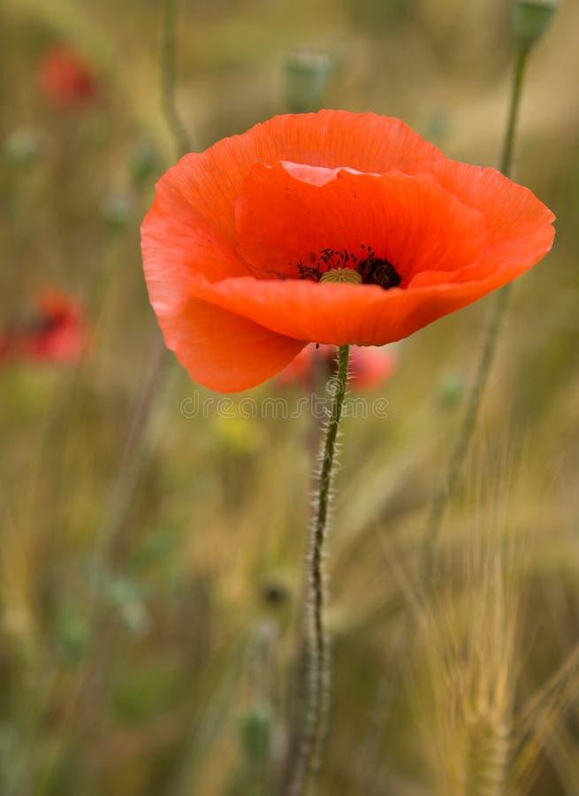 Fleur de pavot au-dessus de fond brouillé photo stock