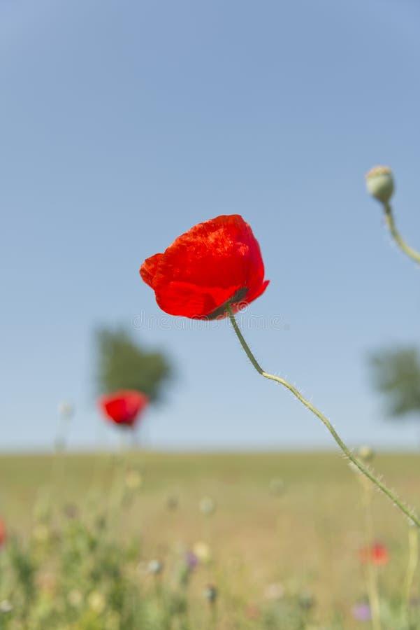 Fleur de pavot avec le champ de fond de tache floue des pavots verticaux image libre de droits