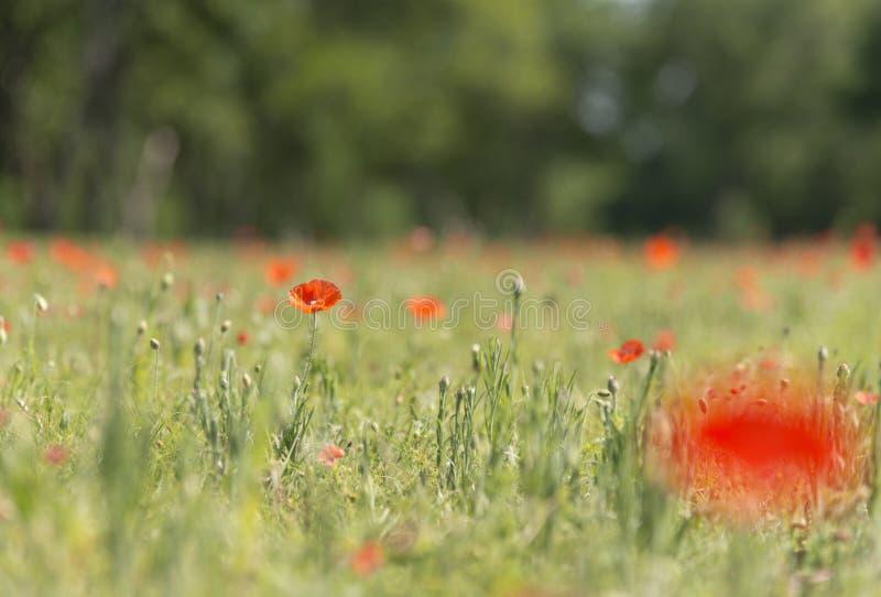 Fleur de pavot avec le champ de fond de tache floue de l'horizon de pavots photographie stock libre de droits