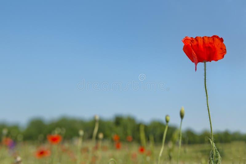Fleur de pavot avec le champ de fond de tache floue de l'horizon de pavots photographie stock