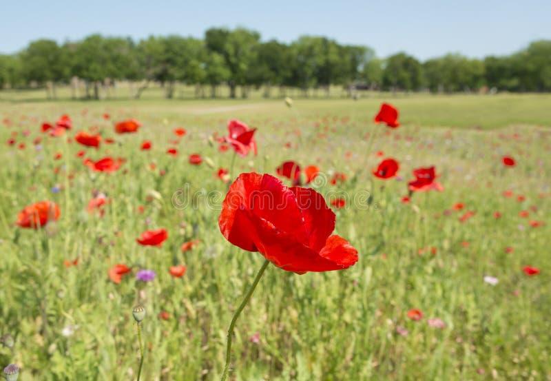 Fleur de pavot avec le champ de fond de tache floue de l'horizon de pavots images stock