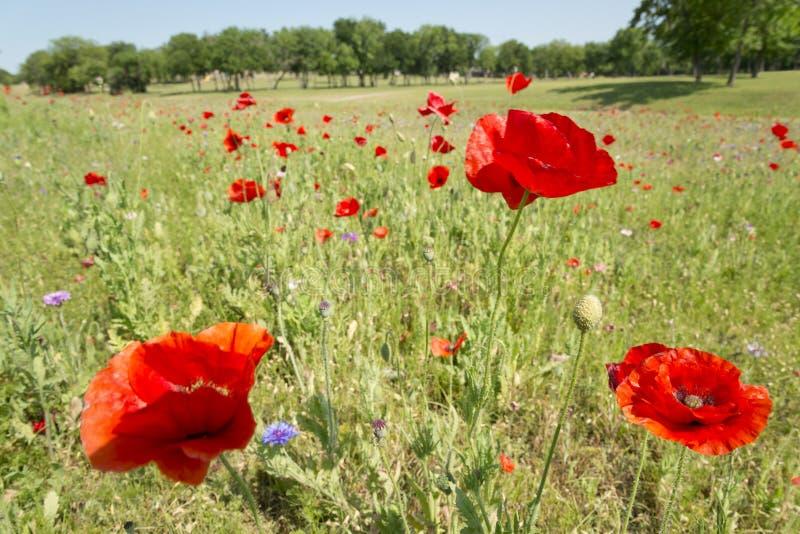 Fleur de pavot avec le champ de fond de tache floue de l'horizon de pavots photos libres de droits