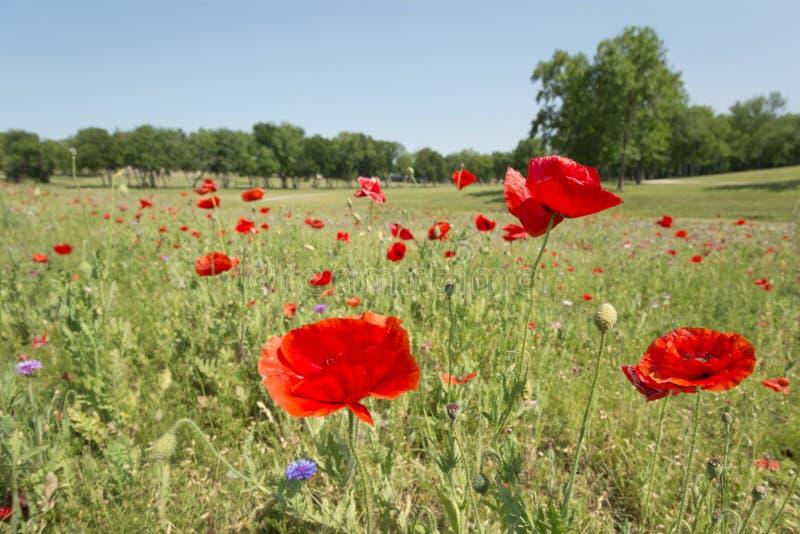 Fleur de pavot avec le champ de fond de tache floue de l'horizon de pavots photo libre de droits