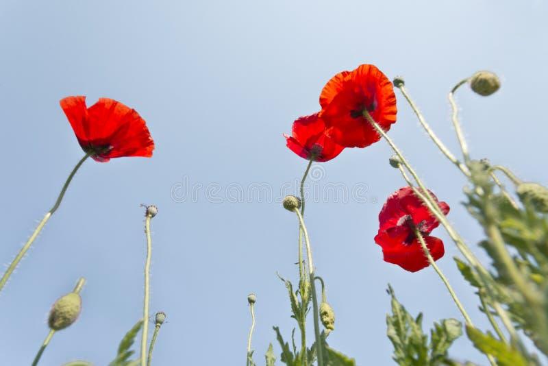 Fleur de pavot avec le champ de fond de tache floue de l'horizon de pavots photos stock