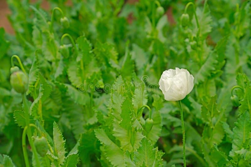 Fleur de pavot cultivé avec beaucoup de bourgeons brouillés de fleur de pavot cultivé images libres de droits