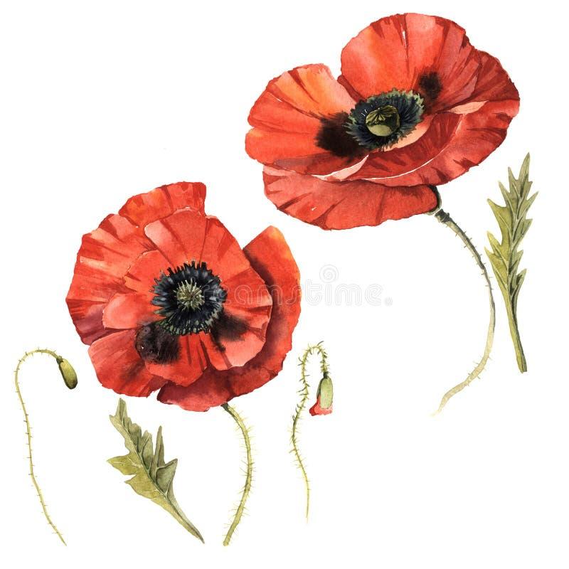 Fleur de pavot de Wildflower dans un style d'aquarelle d'isolement illustration libre de droits