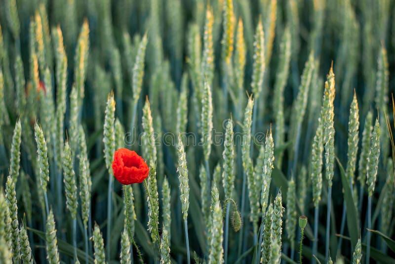 Fleur de pavot parmi des oreilles de blé Texture des oreilles de blé Été photo libre de droits