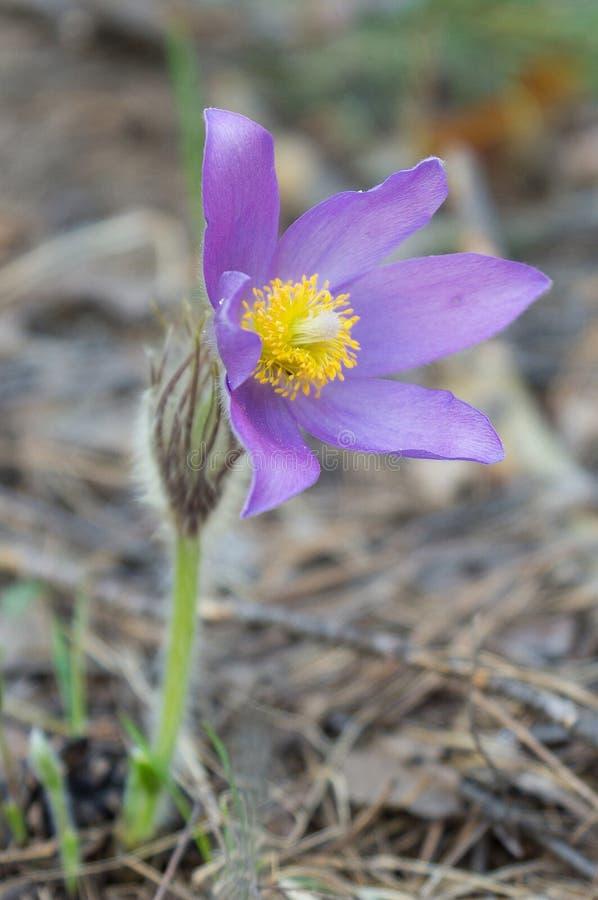 Fleur de perce-neige au printemps photographie stock libre de droits