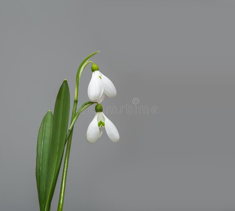 Fleur de perce-neige de ressort photographie stock libre de droits