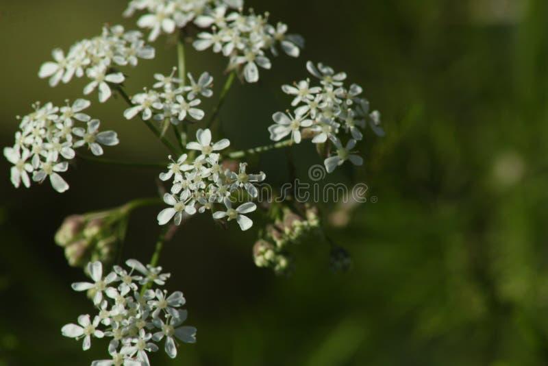 Fleur de persil Sylvestris d'Anthriscus Fond vert photographie stock