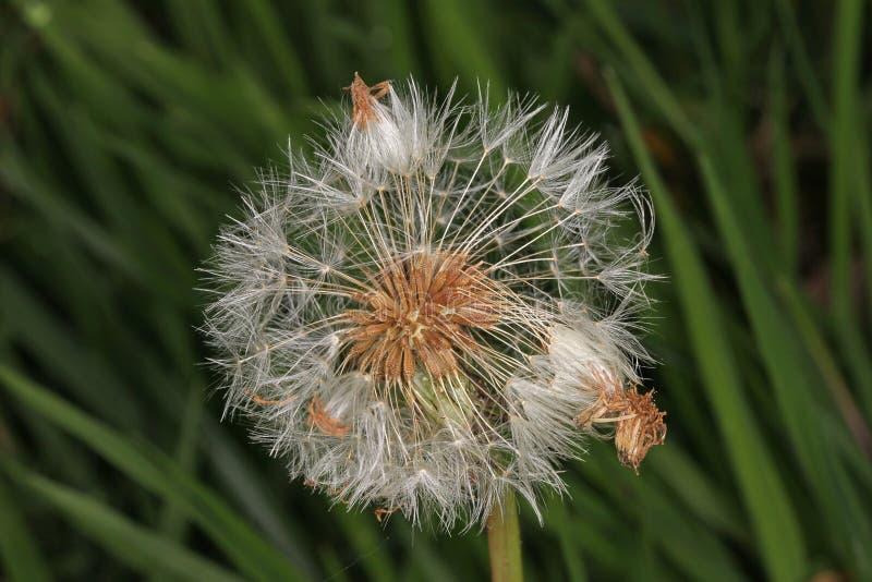 Fleur de pissenlit allée pour semer photo libre de droits