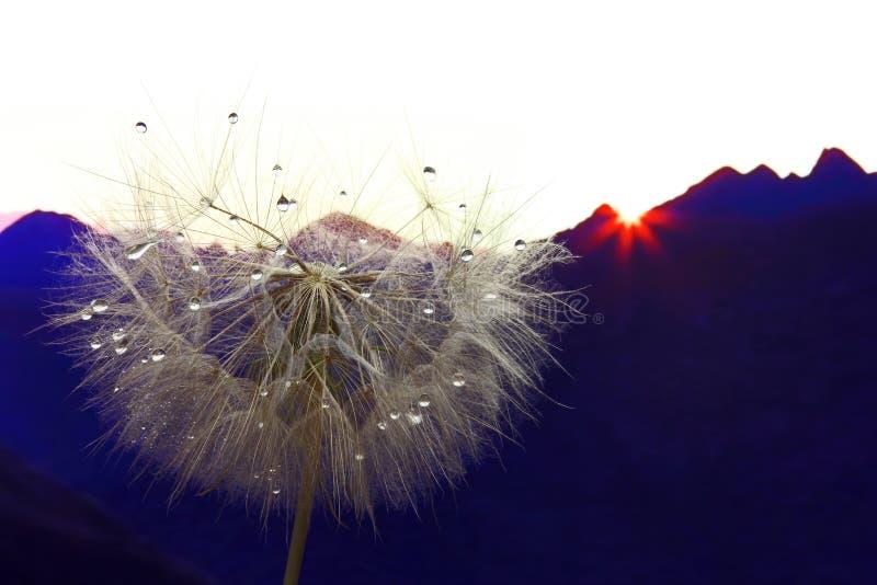 Fleur de pissenlit avec des baisses de l'eau sur un fond de terrain montagneux photo libre de droits