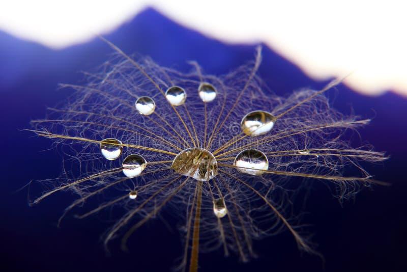 Fleur de pissenlit avec des baisses de l'eau sur un fond de terrain montagneux images libres de droits