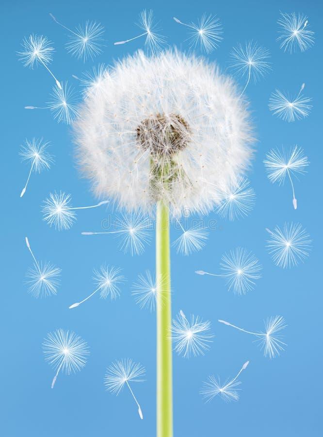 Fleur de pissenlit avec des graines de vol sur le fond bleu Un objet d'isolement contre les jeunes jaunes blancs de source de fle photo libre de droits