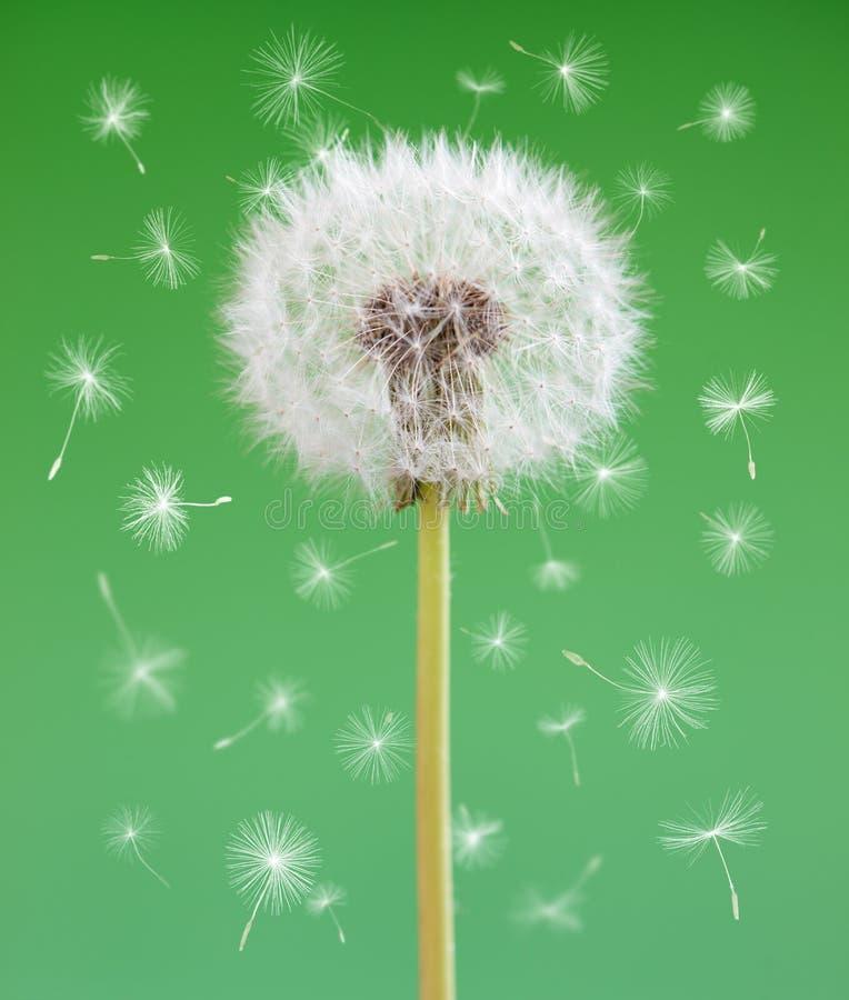 Fleur de pissenlit avec des graines de vol sur le fond vert Un objet contre les jeunes jaunes blancs de source de fleur de concep photographie stock libre de droits