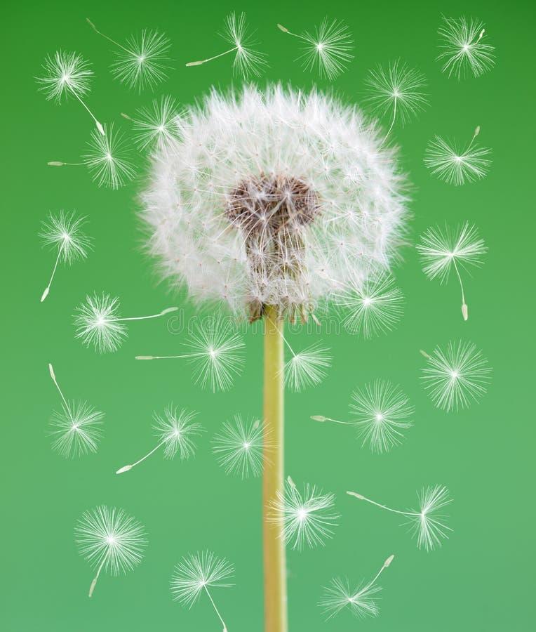 Fleur de pissenlit avec des graines de vol sur le fond vert Un objet d'isolement contre les jeunes jaunes blancs de source de fle photos stock