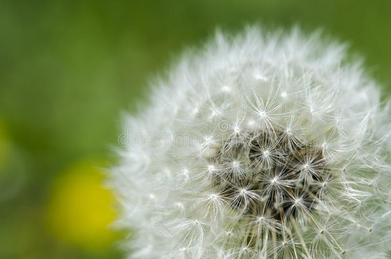 fleur de pissenlit avec la boule de graines étroite dans la vue horizontale de fond lumineux bleu de turquoise photo stock
