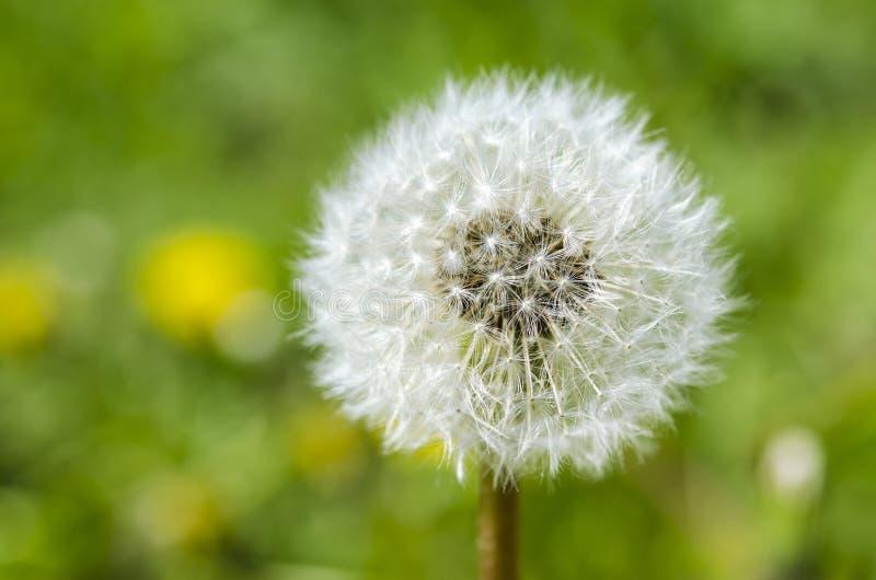 fleur de pissenlit avec la boule de graines ?troite dans la vue horizontale de fond lumineux bleu de turquoise photographie stock