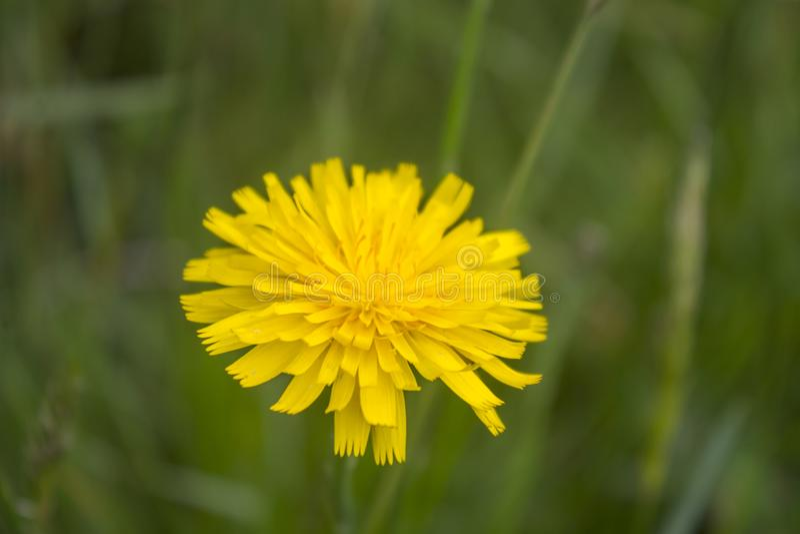 Fleur de pissenlit avec les cheveux malpropres photographie stock libre de droits