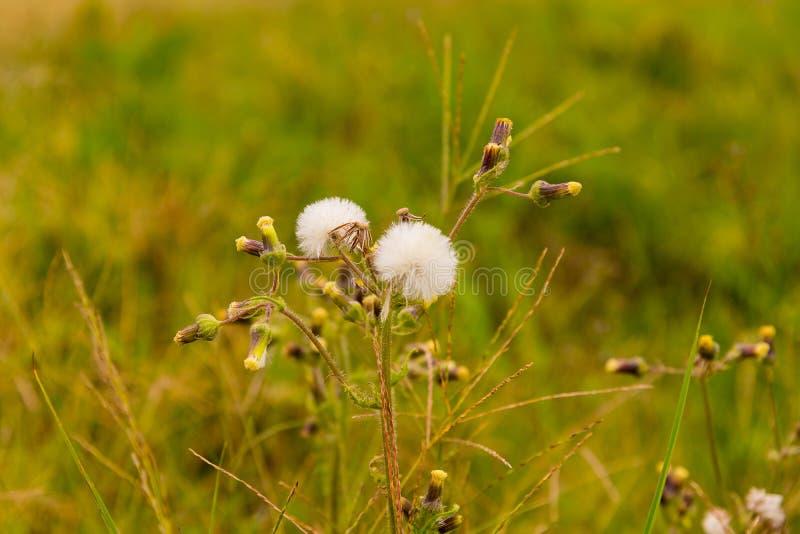 Fleur de pissenlit dans la perspective 02 jpg photos stock