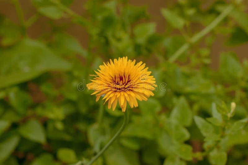 Fleur de pissenlit dans le domaine images stock