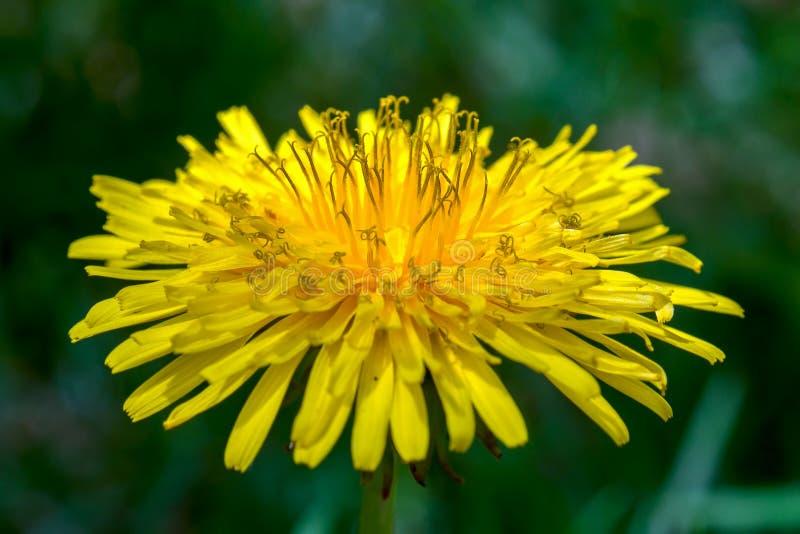 Fleur de pissenlit et ses fleurons de rayon bien développés photos stock