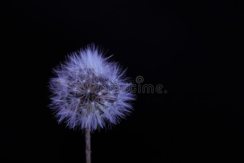 Fleur de pissenlit fond noir au fond photo libre de droits