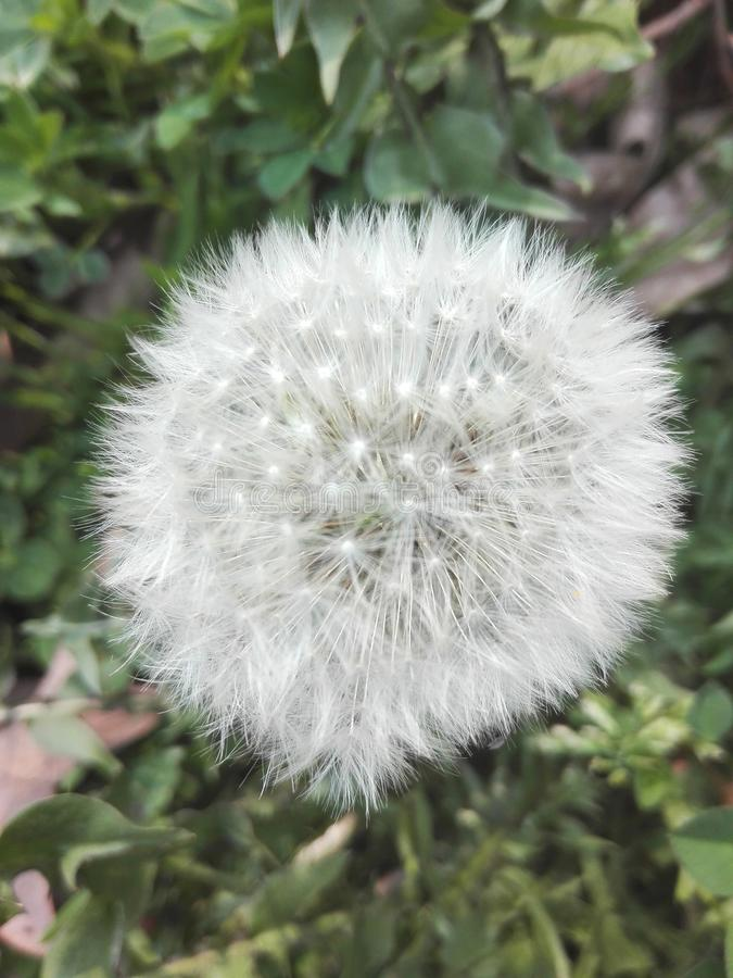 Fleur de pissenlit pour des prestations-maladie photographie stock libre de droits