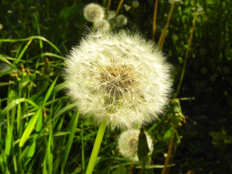 Fleur de pissenlit sur le champ photos stock