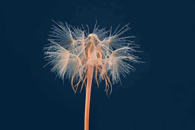 Fleur de pissenlit sur le fond bleu-fonc? photo stock