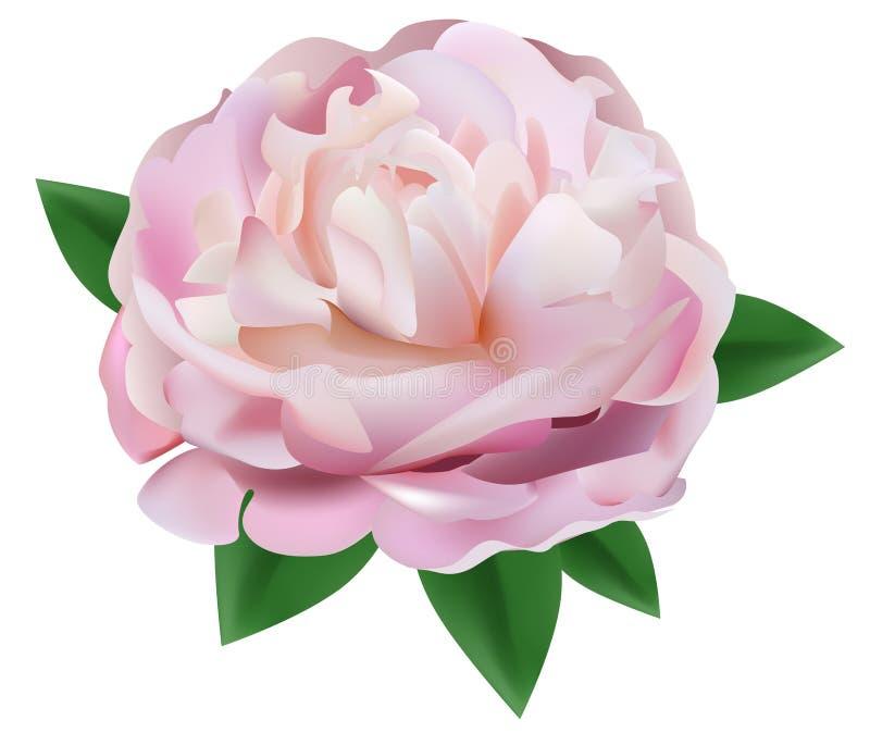 Fleur de pivoine d'isolement sur le fond blanc illustration de vecteur