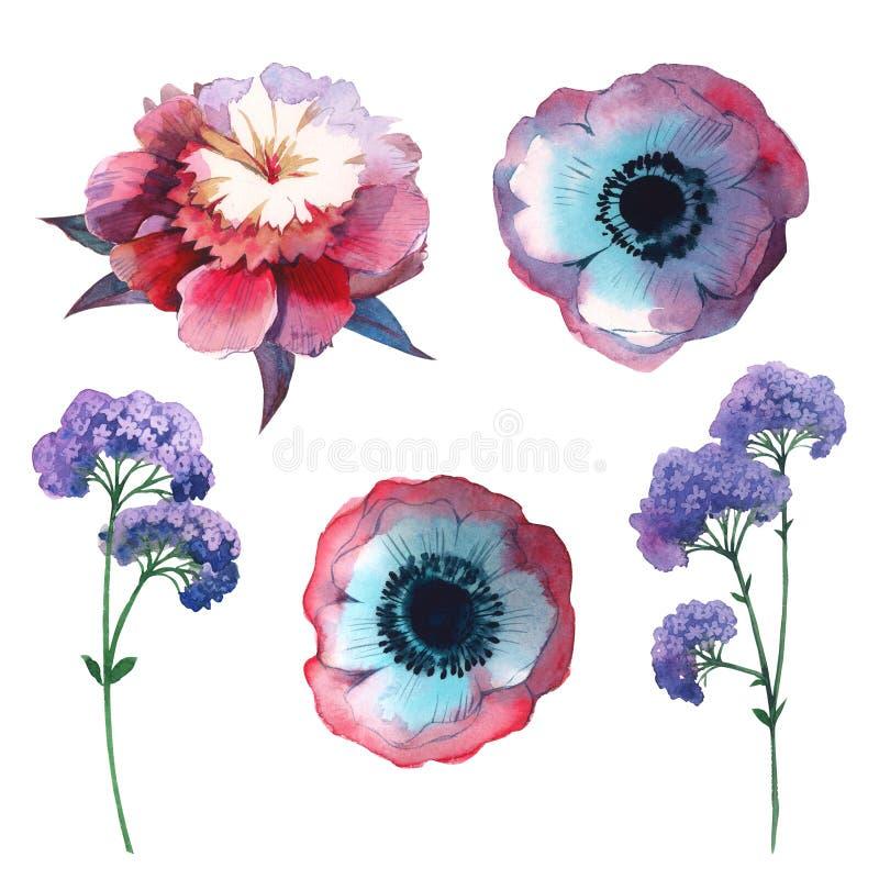 Fleur de pivoine de Wildflower dans un style d'aquarelle d'isolement illustration libre de droits