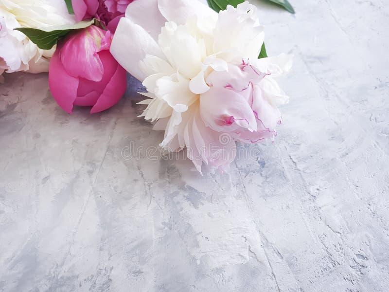 fleur de pivoine romane sur le cadre concret gris de fond photographie stock