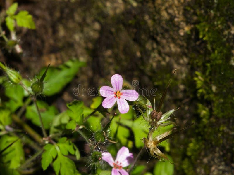 Fleur de plan rapproché d'herbe Robert ou de robertianum de géranium avec le fond de bokeh, foyer sélectif, DOF peu profond images libres de droits